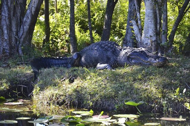 Эверглейдс: парк с крокодилами и аллигаторами