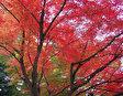 Праздник кленовых листьев