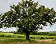 Le Chene Royal - королевский дуб