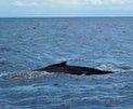 Самана - охота на китов ) Доминикана 2010