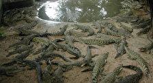 Крокодиловая ферма в местечке Самутпракарн