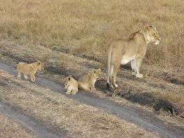 Львица и ее детеныши