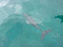 Дельфин в Карибском море