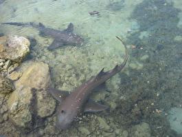 Местные акулы