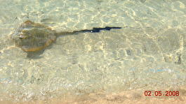 Скат плавал прямо у берега