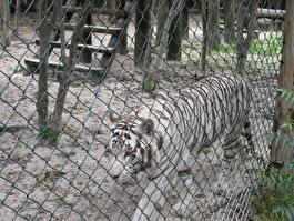 белый тигр ) Ближе подойти нельзя ;)