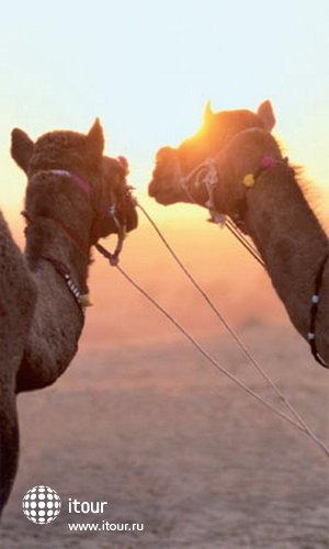 Верблюды в ОАЭ