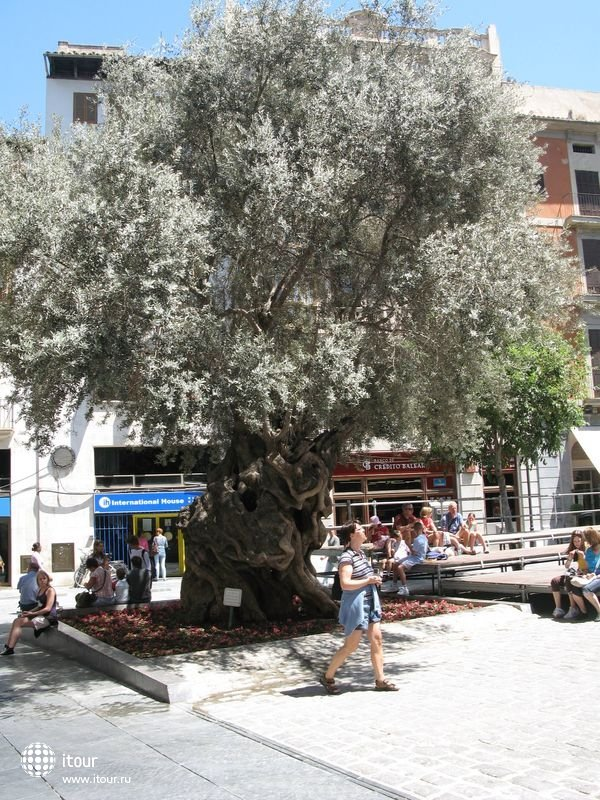 Palma de Mallorca - тысячалетняя олива