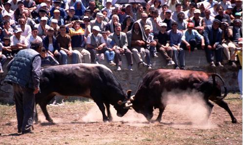 Bullfighting (Kafkasor)