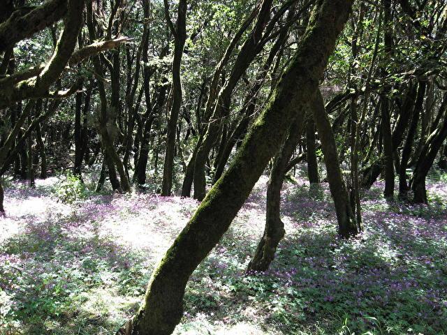 Ла Гомера, реликтовый лес, Испания и канары