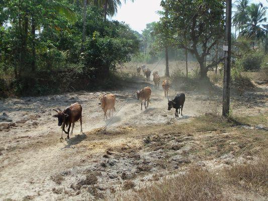 Varca - Коровы