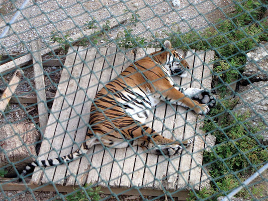 Тиграм тоже жарко
